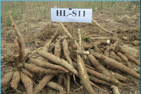 Hiệu quả kinh tế cao từ mô hình trồng sắn HL –S11