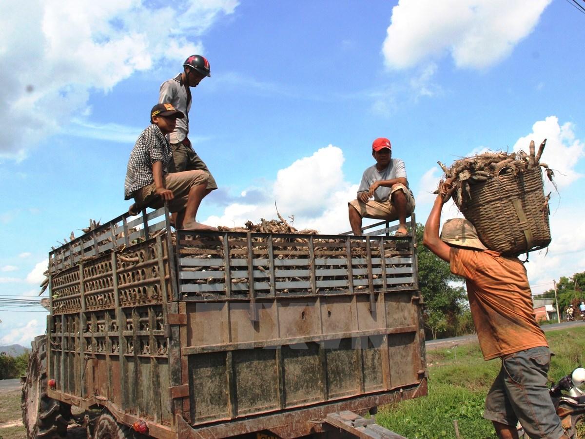 Kiểm soát sắn nhập khẩu ngăn ngừa Virus nguy hiểm