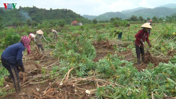 Giá sắn nguyên liệu tăng cao, nông dân phấn khởi