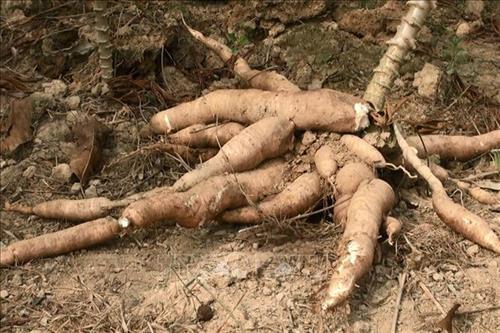 Bệnh khảm lá sắn gây hại trở lại tại Bà Rịa - Vũng Tàu